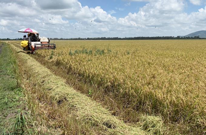 Nông dân huyện Tri Tôn, tỉnh An Giang vào vụ thu hoạch lúa Hè Thu ngay thời điểm các tỉnh miền Nam giãn cách xã hội nên việc bán lúa chậm và giá giảm hơn trước.