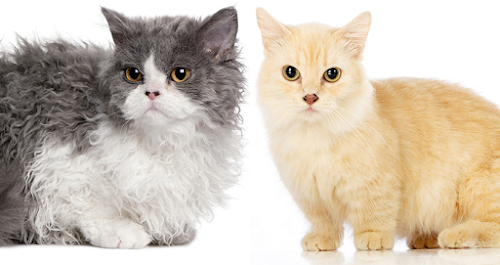 5 Cats Races with Unusual Appearance