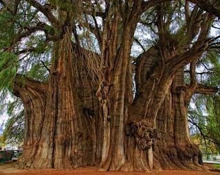 Pohon Arbol del Tule – Pohon Cemara