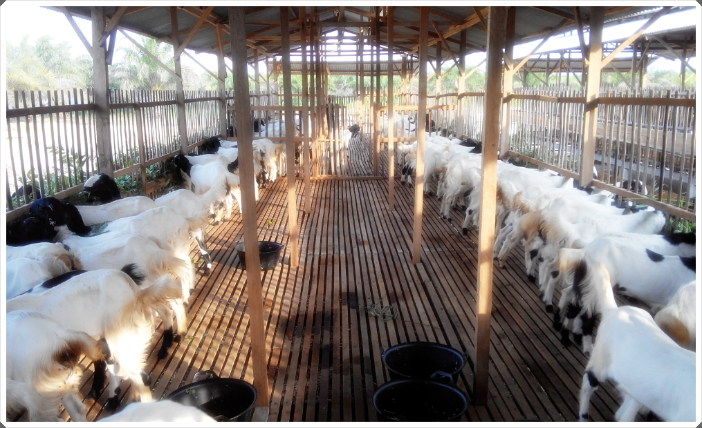 gambar 2 peternakan kambing etawa di lampung