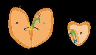 Perbedaan Struktur Biji Dikotil dan Monokotil