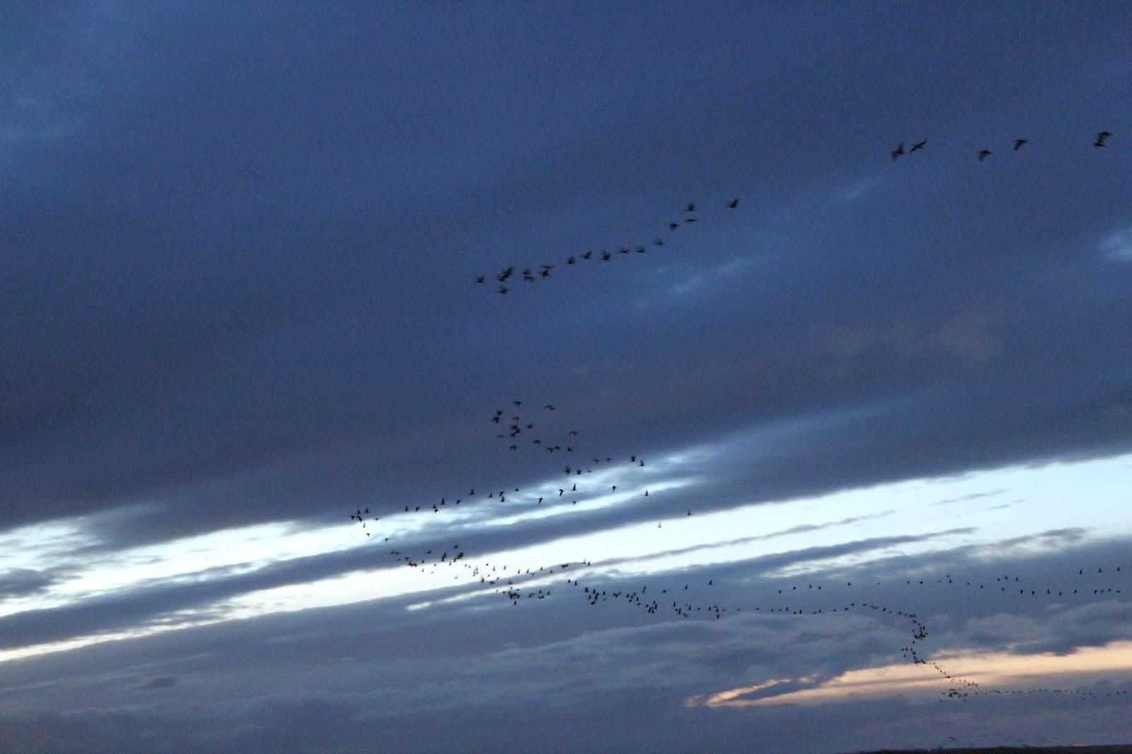 grullas en la puesta de sol