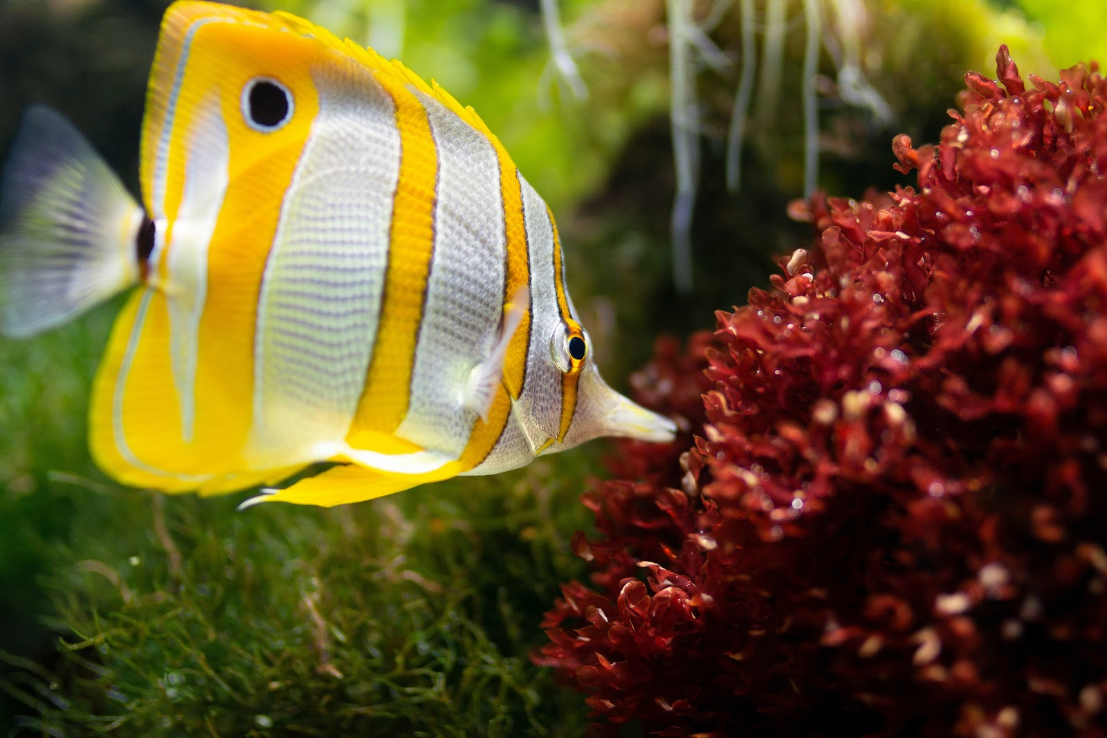 yellow-and-white-fish-pictures