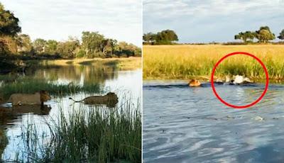 Penyelamatan singa dari serangan buaya