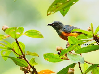 オレンジハナドリ Orange-Bellied Flowerpecker