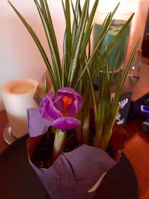 crocus bloom opening