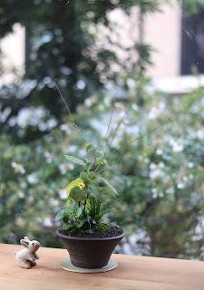 草もの盆栽 作品例 ミズヒキ、イトラッキョウ他