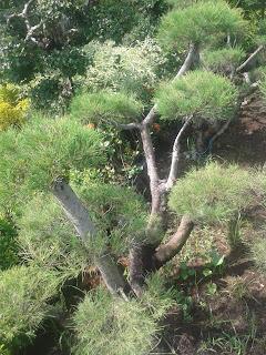 Jual Pohon Cemara Udang Bonsai Di Depok