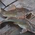 Tehnik Pembenihan Ikan Baung Secara Buatan (Hemibagrus nemurus)