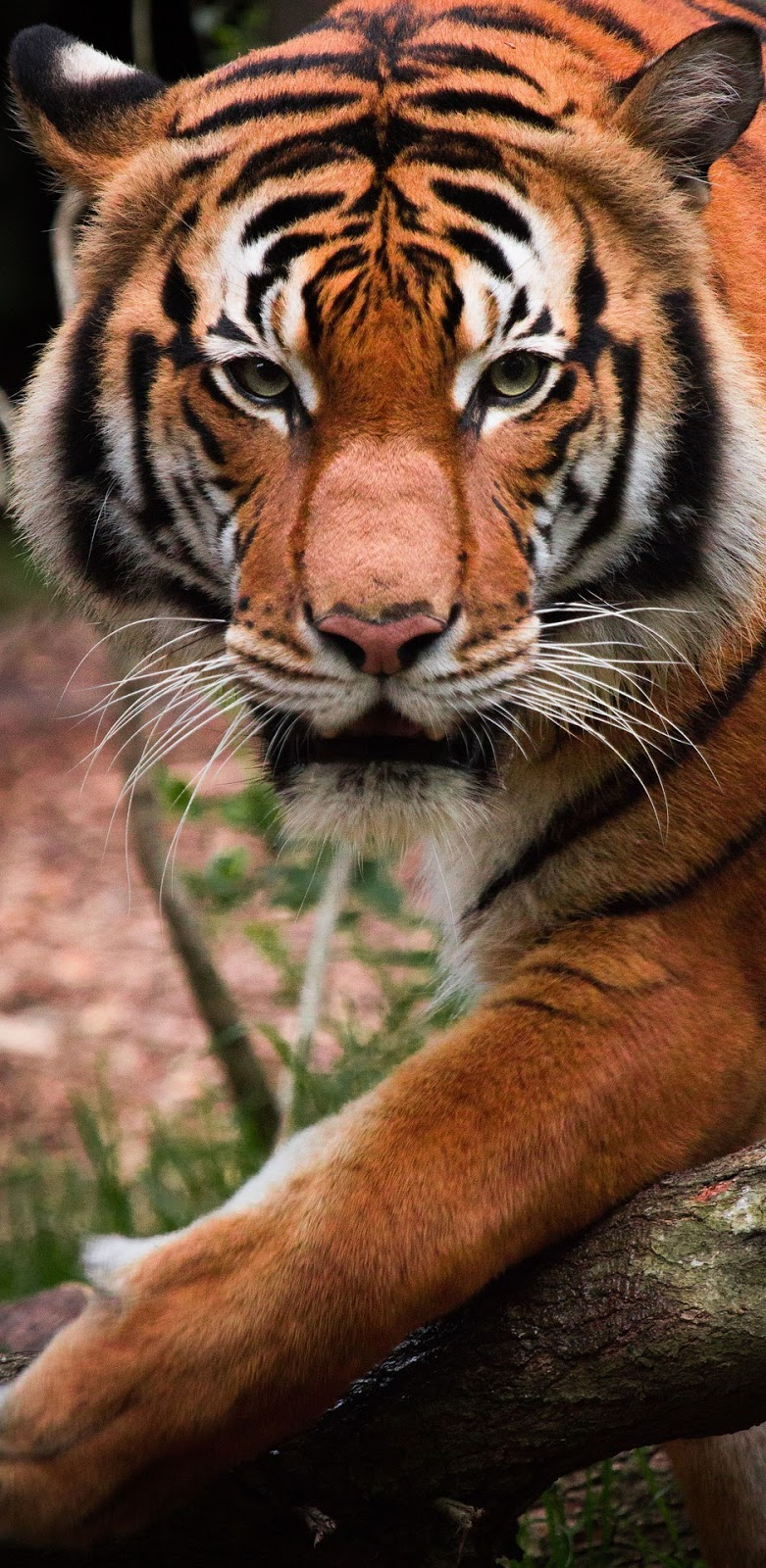 Photo of a majestic tiger.