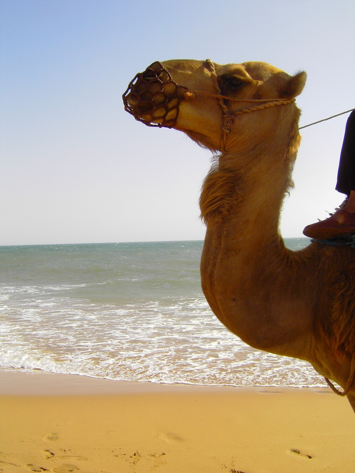Picture of a camels long neck.