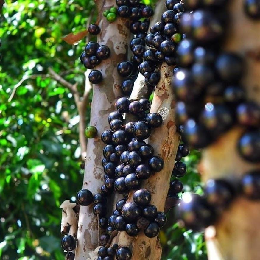 bibit anggur pohon sabara Denpasar