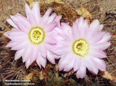 flores de Acanthocalycium spiniflorum