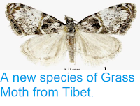 http://sciencythoughts.blogspot.co.uk/2015/02/a-new-species-of-grass-moth-from-tibet.html
