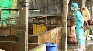 Hơn 5.000 con lợn bị tiêu hủy ở Đồng Nai do sốt lợn châu Phi