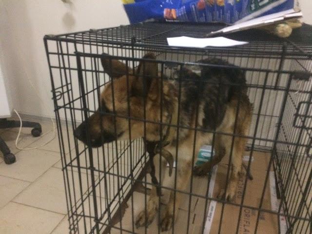 Твигги – измученная собака, которую спасли от смерти обыкновенные водители!