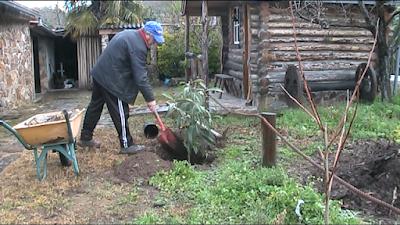 Plantando uma nespereira