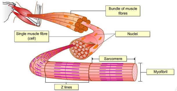 BIOLOGY FORM 6 NEUROMUSCULAR JUNCTION I - neuromuscular junction