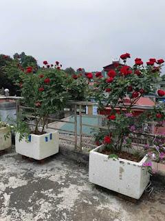 cách làm phân bón cá tại nhà cho cây hoa hồng cực tốt