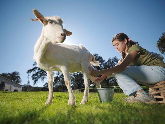 khasiat susu kambing untuk kesihatan