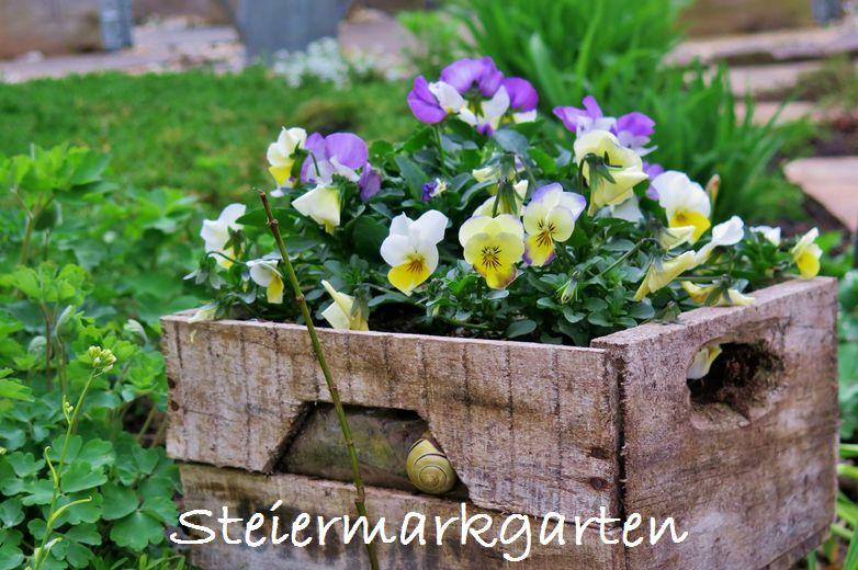 Steifmütterchen-Steiermarkgarten