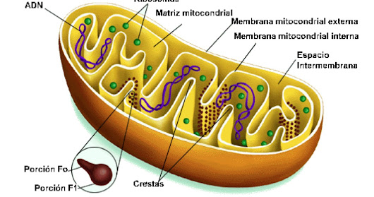 Inhibition of mitochondrial mobility may be the key to preventing metastasis