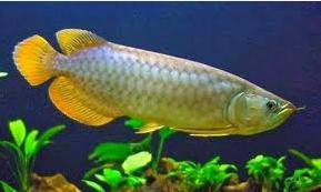 ikan naga  Ikan Hias Paling Populer
