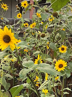 Goldfinch in Sunflowers