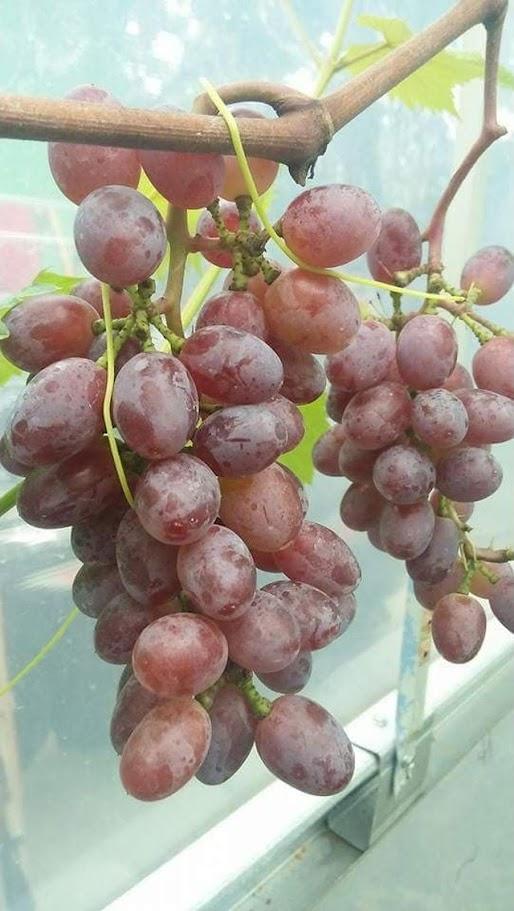 Bibit Anggur Import Jupiter Seedles Berkwalitas Sawahlunto