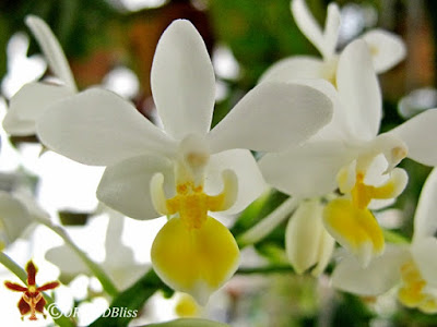Phalaenopsis equestris at OrchidBliss