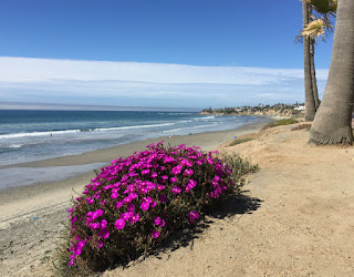 Delosperma Cooperi - Pacific Beach