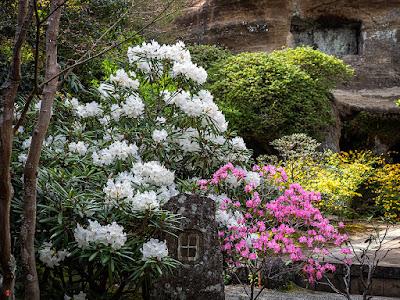 Tsutsuji (Rhododendron), Shakunage (Rhododendron metternichii) and Yamabuki (Kerria japonica) flowers: Kaizo-ji