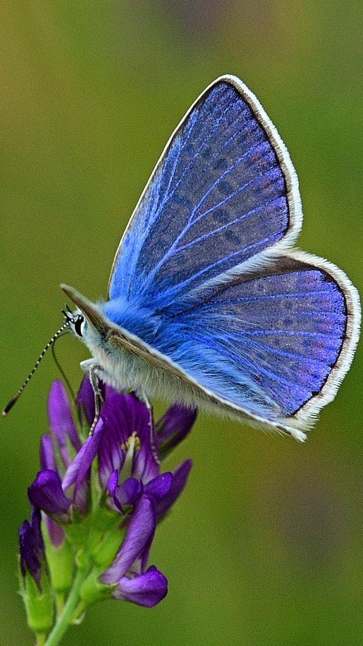 Photo of common blue butterfly.