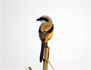 Long-tailed Shrikes