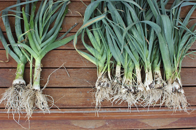 Perennial Leeks for sale Australia