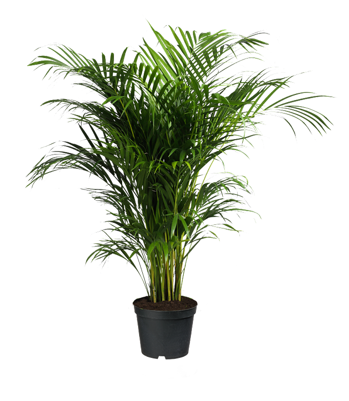 Howea forsteriana Ravenea Areca palm Houseplant, potted plants, green leafed plant, grass, plant Stem, palm Tree png free png download