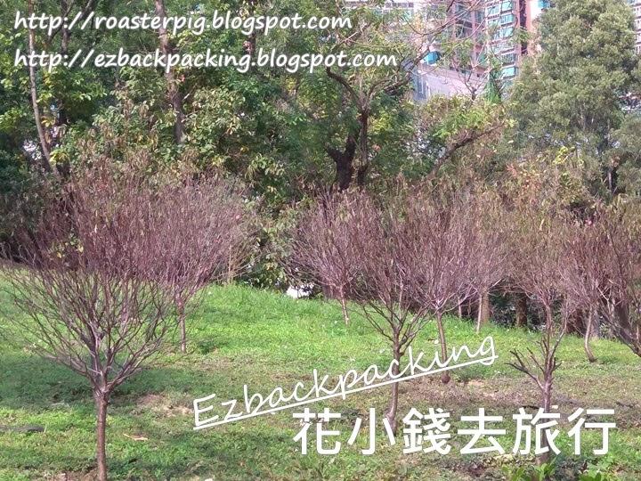 青衣公園桃花林