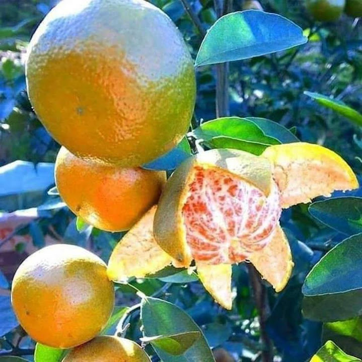 Bibit buah jeruk keprok siam Blitar