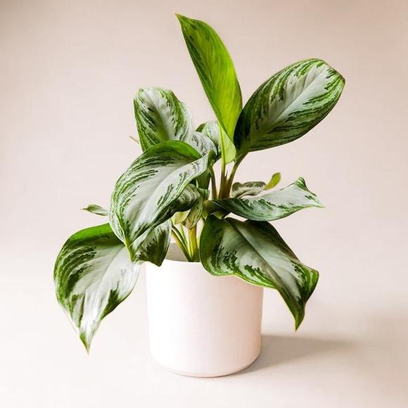 Chinese Evergreen Silver Bay plant from Pigment