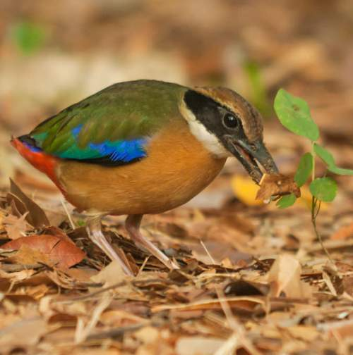 Indian birds - Image of Mangrove pitta