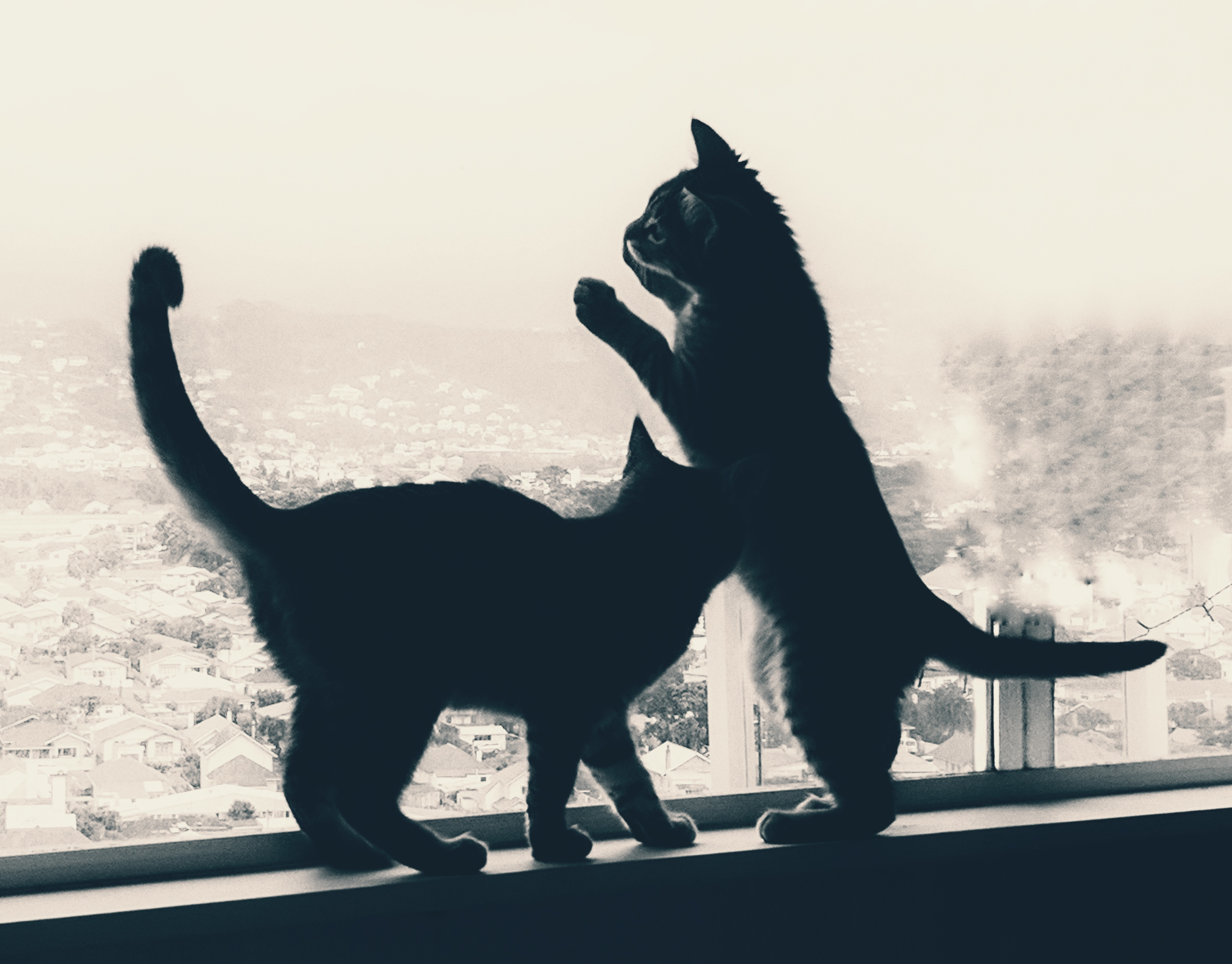 Kittens playing in silhouette on a window sill