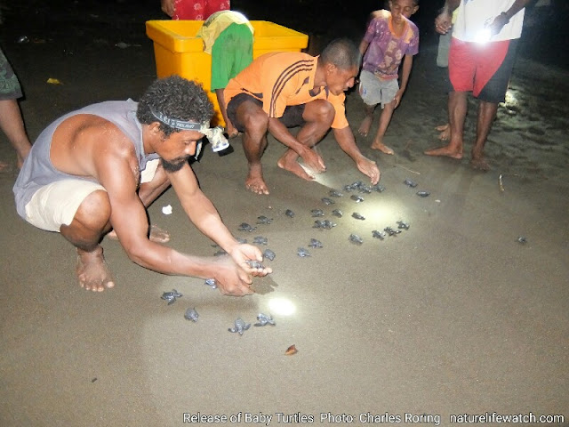 Release of baby turtles