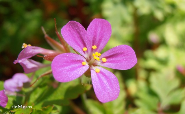 Flor de Geranio púrpura Geranium purpureum