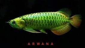 Gambar ikan arwana green pino