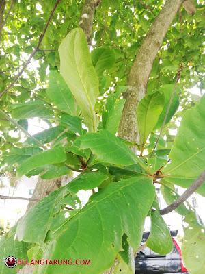 daun ketapang muda