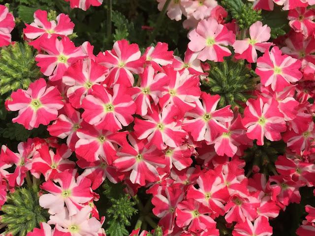 rosa blühende Sommerblumen