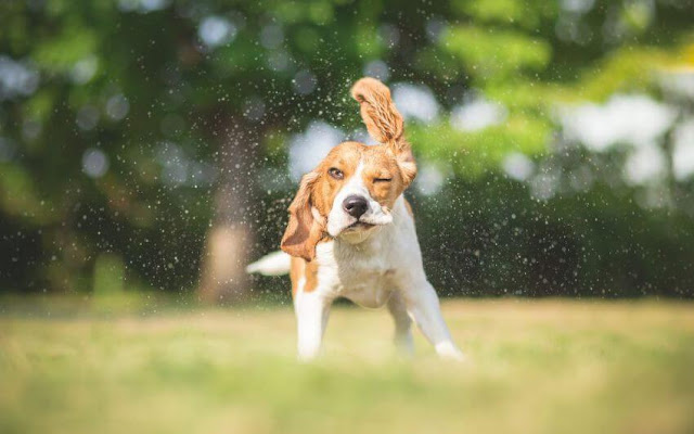 Why Do Dogs Shake Off? The Answer Might Surprise You!