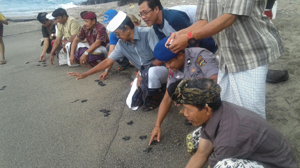 Pelepasliaran Tukik Penyu Hijau Di Pantai Samuh Candidasa