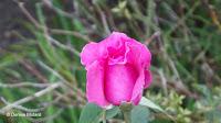McCartney hybrid tea rose, Pardee Rose Garden - East Rock Park, New Haven, CT