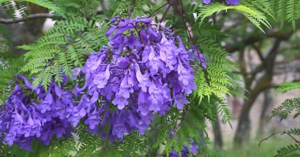 Bunga Jakaranda